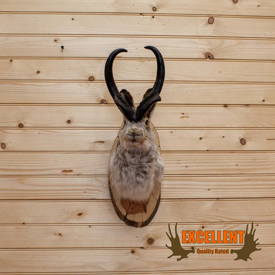 Jackalope Taxidermy Mount - SW10150