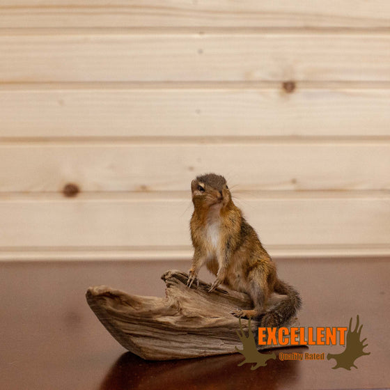 chipmunk taxidermy driftwood