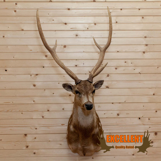 axis deer taxidermy shoulder mount SafariWorks Decor