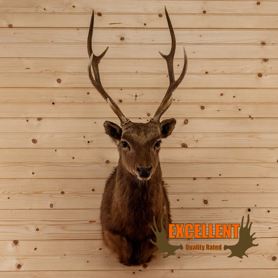 sika deer taxidermy shoulder mount for sale