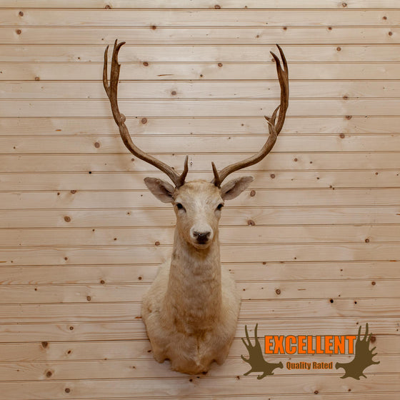 fallow deer blonde taxidermy mount SafariWorks Decor