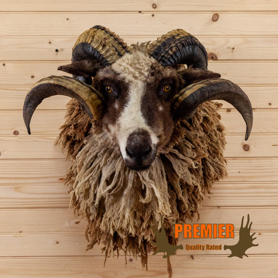 woolly crossbreed sheep ram taxidermy shoulder mount for sale