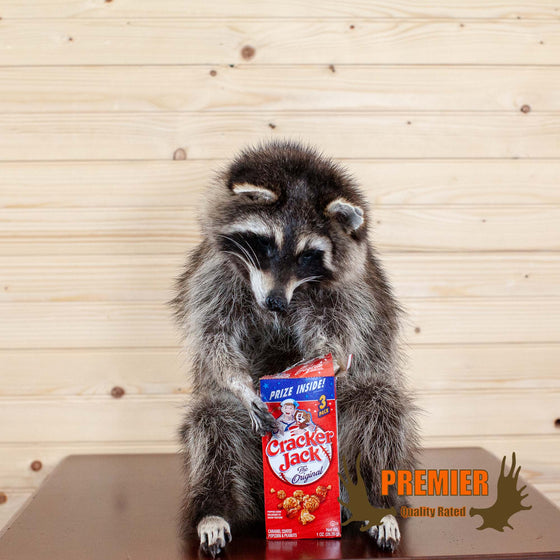 Cracker Jack Coon - Raccoon Taxidermy Mount - SW10079