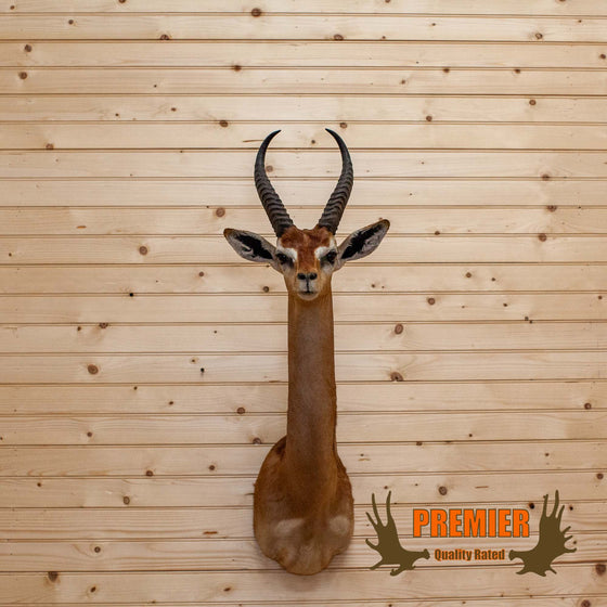 rare african gerenuk shoulder mount