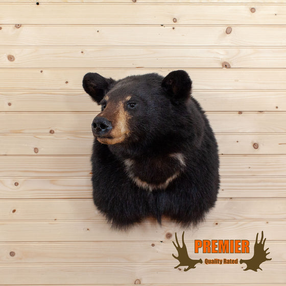 Black Bear Taxidermy Shoulder Mount - SW10092