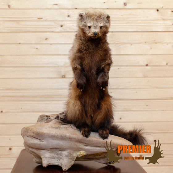 Standing Fisher Taxidermy Mount - SW10093