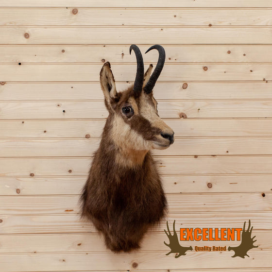 new zealand chamois taxidermy shoulder mount for sale