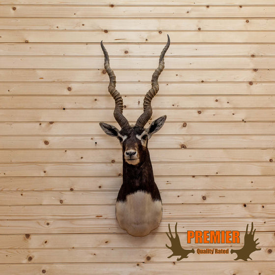 Blackbuck Antelope Shoulder Taxidermy Mount - SW10099