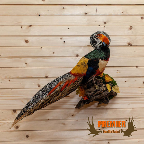 Lady Amherst-Golden Pheasant Cross Taxidermy Mount - SW10112