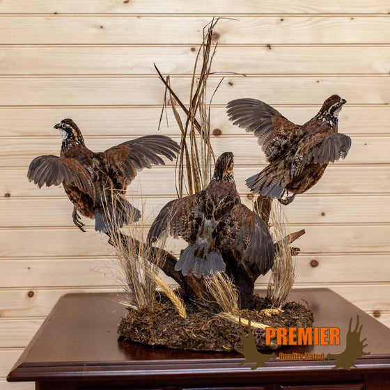 Triplet of Flushing Bobwhite Quail Taxidermy Mount - SW10113