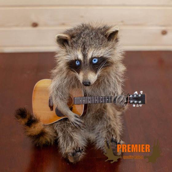 Raccoon Playing Guitar Taxidermy Mount - SW10115