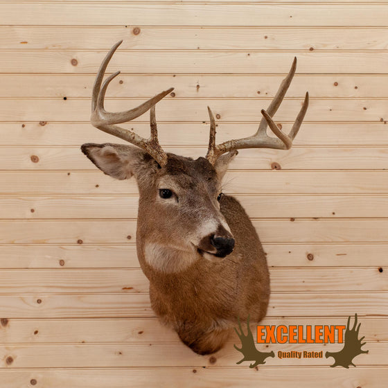 whitetail buck taxidermy shoulder mount for sale