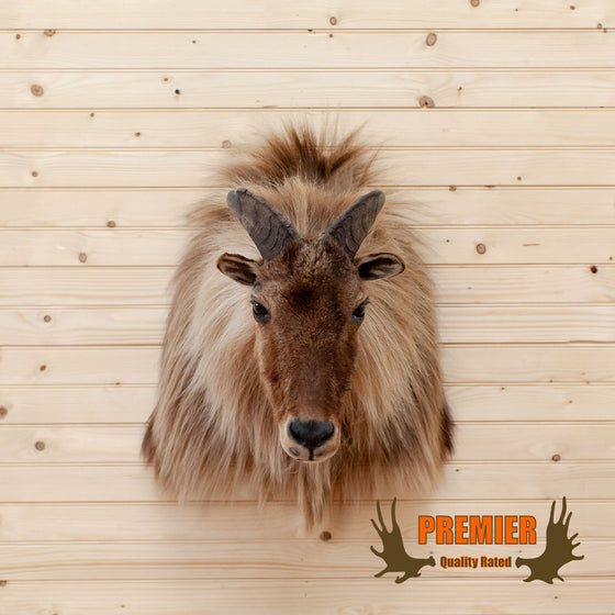 new zealand tahr taxidermy trophy shoulder mount for sale