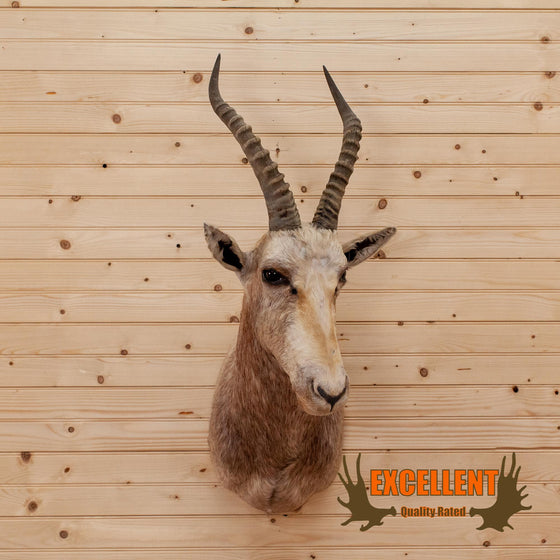 african white blesbok taxidermy for sale