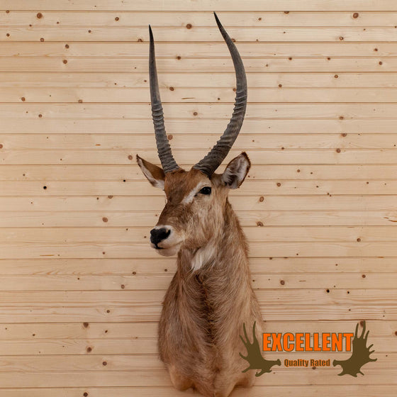 African Waterbuck Taxidermy Mount - SW10169