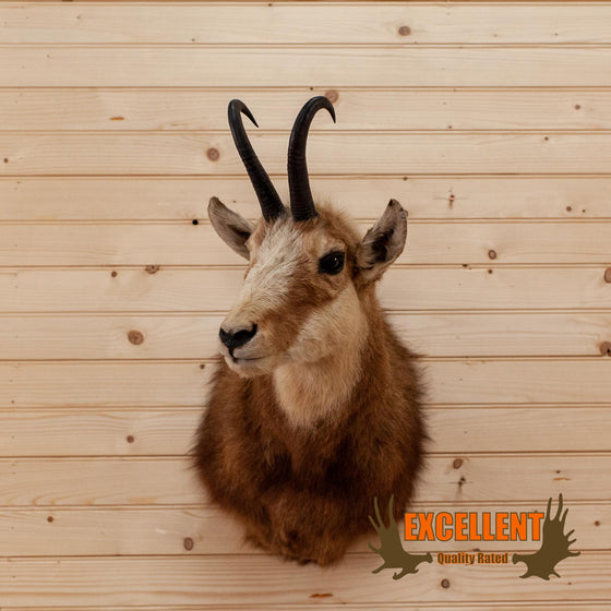 new zeland chamois taxidermy mount for sale