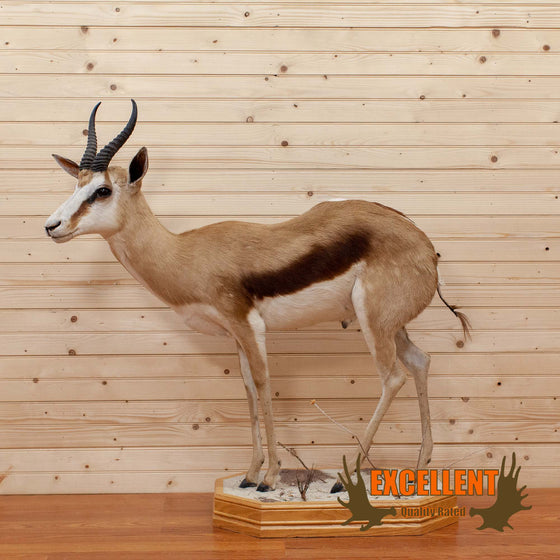 african full body life-size springbok trophy taxidermy mount for sale