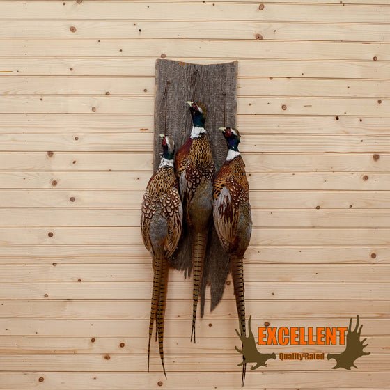 three pheasants dead hang taxidermy trophy mount for sale