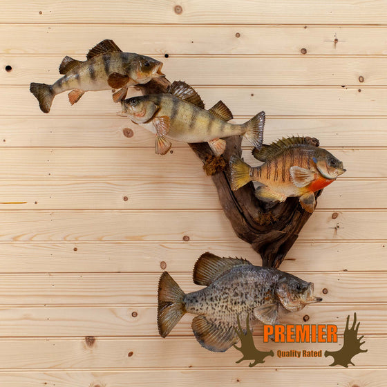 Beautiful Real Skin School of Fish Taxidermy Mount SW10197