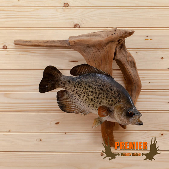 crappie fish taxidermy mount for sale