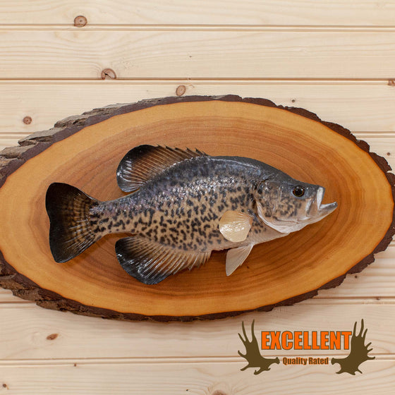 Crappie Fish Taxidermy Mount on Log Plaque SW10201
