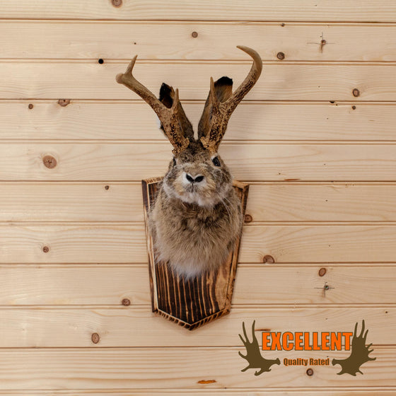 jackalope taxidermy shoulder mount trophy for sale