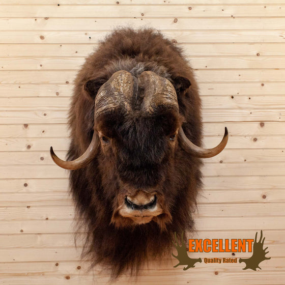 muskox shoulder mount taxidermy for sale