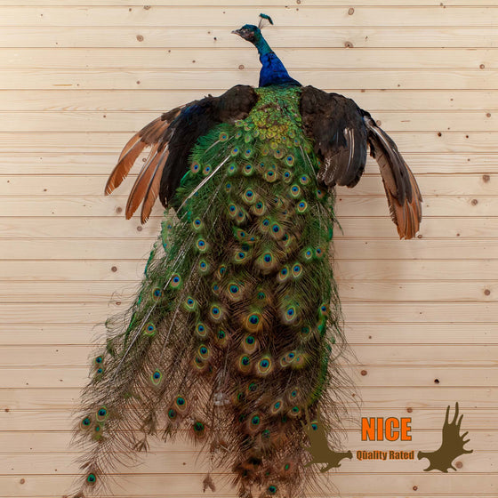 indian peacock taxidermy mount for sale