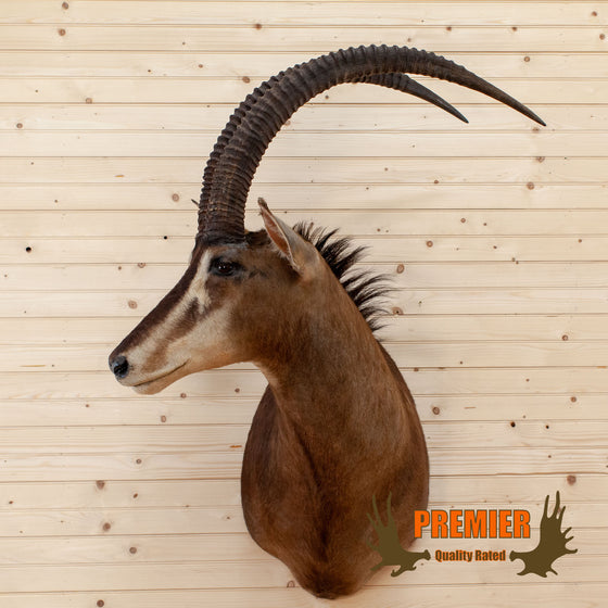 african sable taxidermy shoulder mount trophy for sale