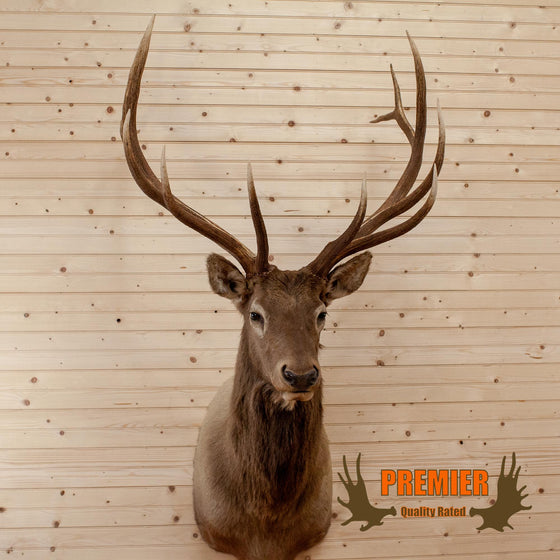 rocky mountain elk head shoulder mount taxidermy trophy for sale