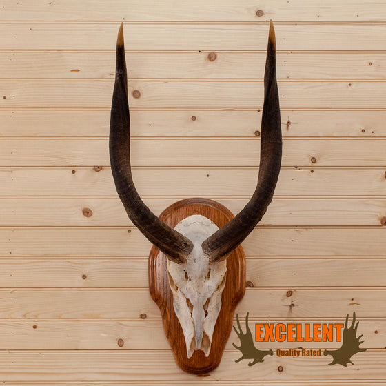 african nyala european skull mount for sale
