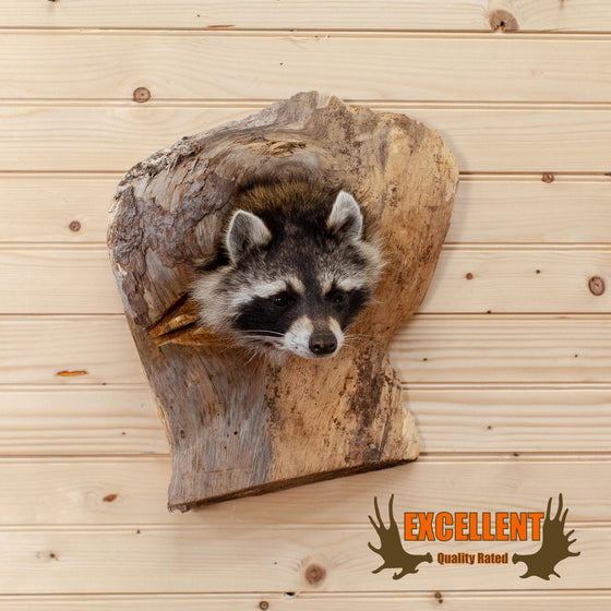 raccoon peeking from log taxidermy wall display