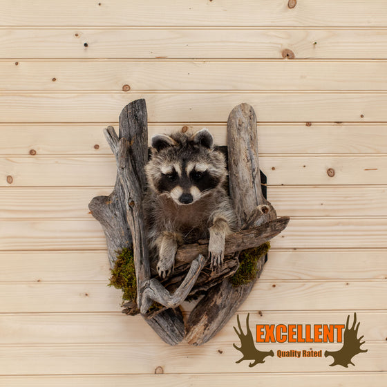 raccoon peeking taxidermy mount for sale