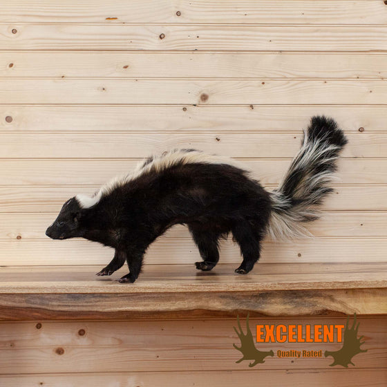 full body skunk taxidermy mount for sale