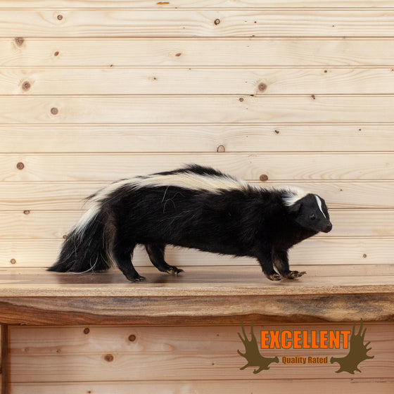 full body taxidermy skunk for sale