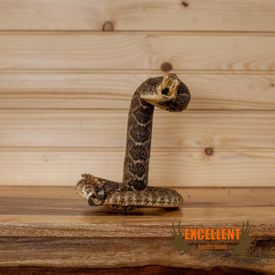 diamondback rattlesnake taxidermy for sale