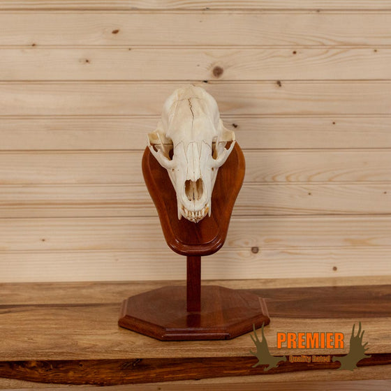 premier black bear skull on pedestal taxidermy for sale