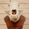 Black Bear Skull on Pedestal Mount SW10264