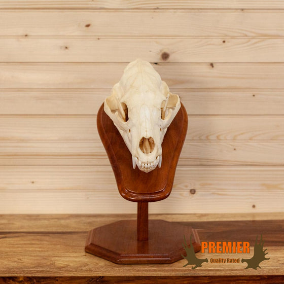 premier quality black bear skull taxidermy for sale