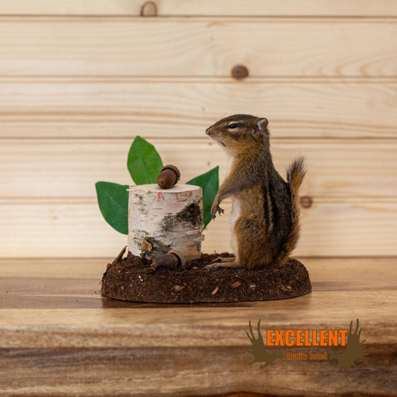 life size chipmunk taxidermy mount for sale
