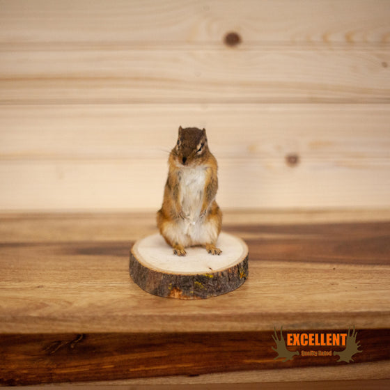 chipmunk full body taxidermy on wood cookie for sale