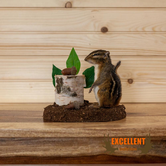 life size full body chipmunk taxidermy mount for sale