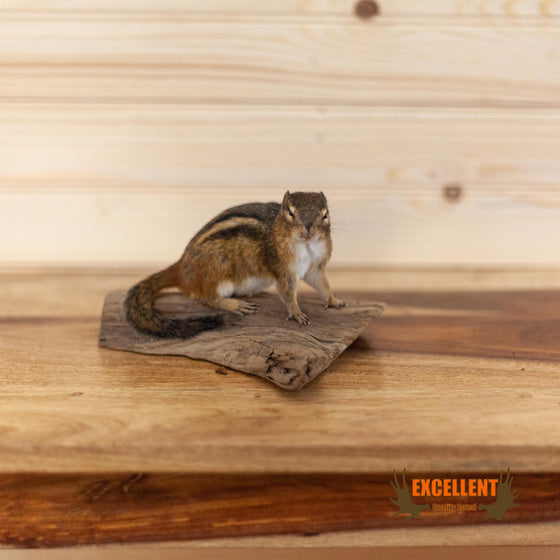 chipmunk full body taxidermy mount on driftwood for sale