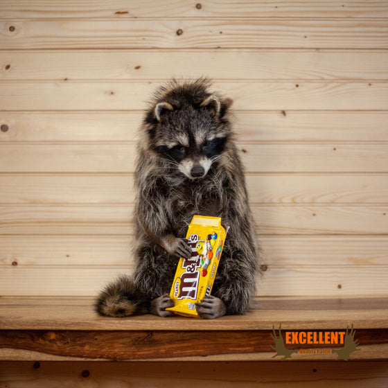 Full Body Raccoon with Candy M&M's Taxidermy Mount SW10276