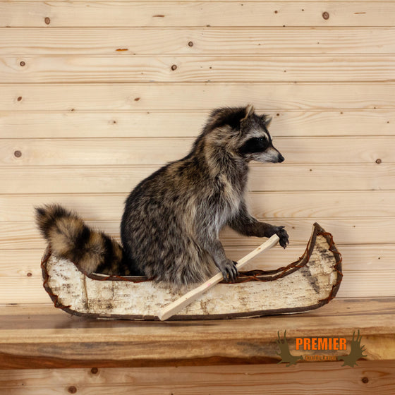 raccoon paddling birch bark canoe taxidermy mount for sale
