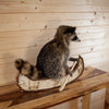 Raccoon Paddling Birch Bark Canoe SW10277