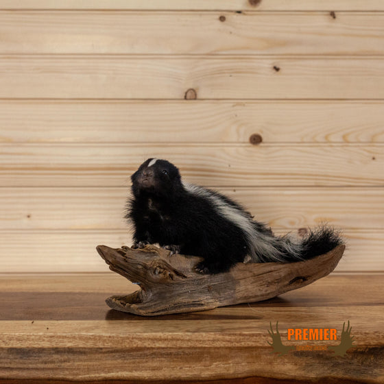 baby skunk full body taxidermy mount for sale