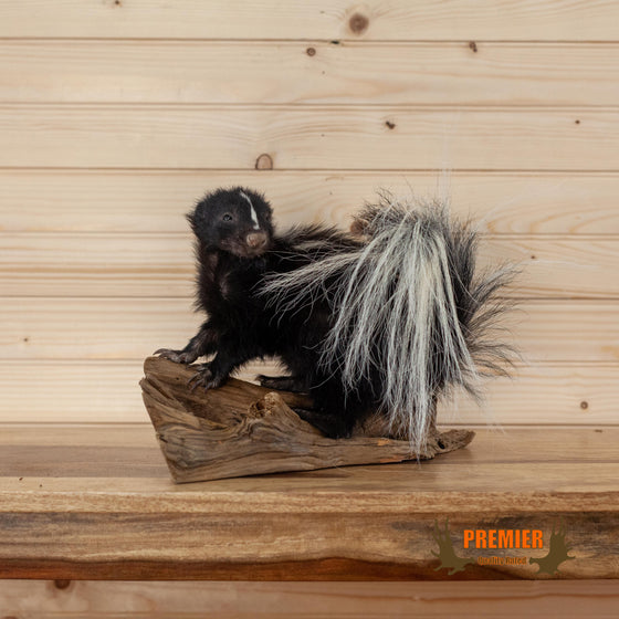 premier quality full body baby skunk taxidermy mount for sale