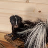 Full Body Baby Skunk Taxidermy Mount SW10279