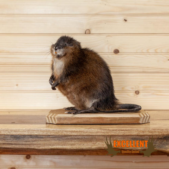 full body life size muskrat taxidermy mount for sale